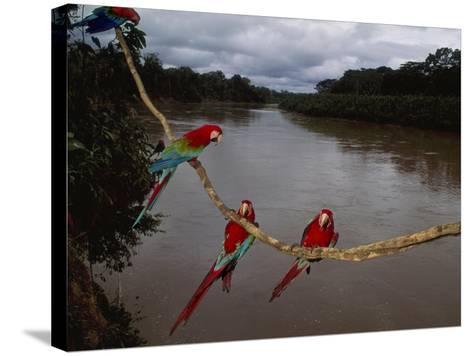 Red-And-Green Macaws on Liana, Ara Chloroptera, Manu National Park, Peru-Frans Lanting-Stretched Canvas Print