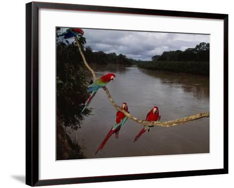Red-And-Green Macaws on Liana, Ara Chloroptera, Manu National Park, Peru-Frans Lanting-Framed Art Print