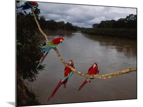 Red-And-Green Macaws on Liana, Ara Chloroptera, Manu National Park, Peru-Frans Lanting-Mounted Photographic Print