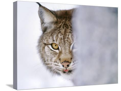 Eurasian Lynx Hiding Behind Tree, Lynx Lynx, Finland-Frans Lanting-Stretched Canvas Print