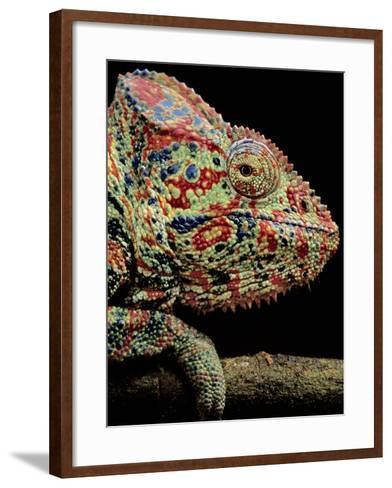 Oustalet's Chameleon, Furcifer Oustaleti, Madagascar-Frans Lanting-Framed Art Print
