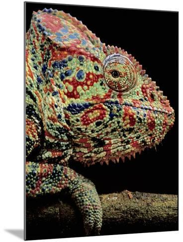 Oustalet's Chameleon, Furcifer Oustaleti, Madagascar-Frans Lanting-Mounted Photographic Print