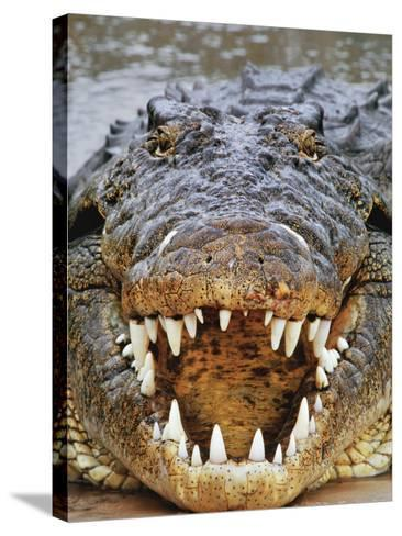 Nile Crocodile, Crocodylus Niloticus, Okavango Delta, Botswana-Frans Lanting-Stretched Canvas Print