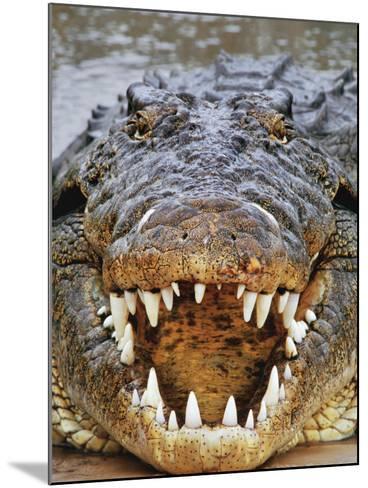 Nile Crocodile, Crocodylus Niloticus, Okavango Delta, Botswana-Frans Lanting-Mounted Photographic Print