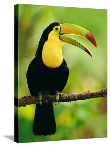 Keel-Billed Toucan, Ramphastos Sulfuratus, Belize-Frans Lanting-Stretched Canvas Print