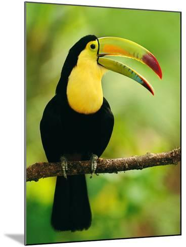 Keel-Billed Toucan, Ramphastos Sulfuratus, Belize-Frans Lanting-Mounted Photographic Print