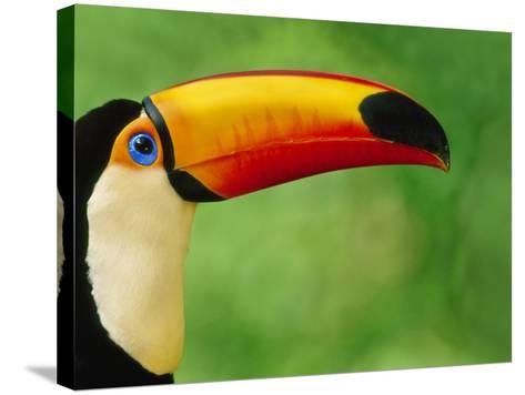 Toco Toucan, Ramphastos Toco, Pantanal, Brazil-Frans Lanting-Stretched Canvas Print