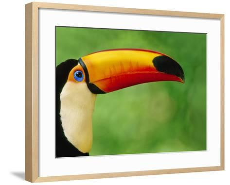 Toco Toucan, Ramphastos Toco, Pantanal, Brazil-Frans Lanting-Framed Art Print