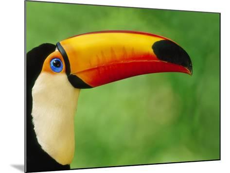 Toco Toucan, Ramphastos Toco, Pantanal, Brazil-Frans Lanting-Mounted Photographic Print