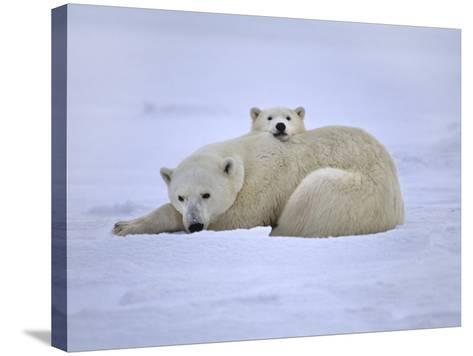 Polar Bear Mother and Cub, Ursus Maritimus, Hudson Bay, Canada-Frans Lanting-Stretched Canvas Print