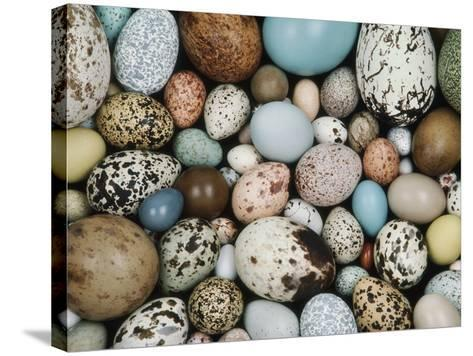Bird Egg Collection, Western Foundation of Vertebrate Zoology, Los Angeles, California-Frans Lanting-Stretched Canvas Print