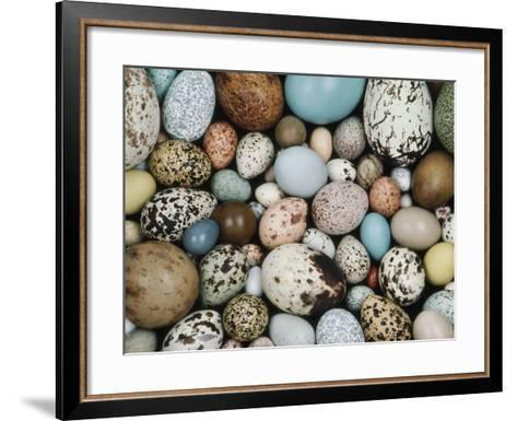 Bird Egg Collection, Western Foundation of Vertebrate Zoology, Los Angeles, California-Frans Lanting-Framed Art Print