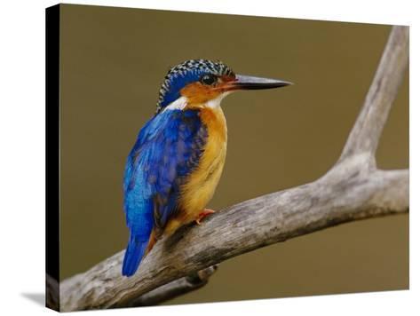 Malachite Kingfisher, Alcedo Cristata, Madagascar-Frans Lanting-Stretched Canvas Print