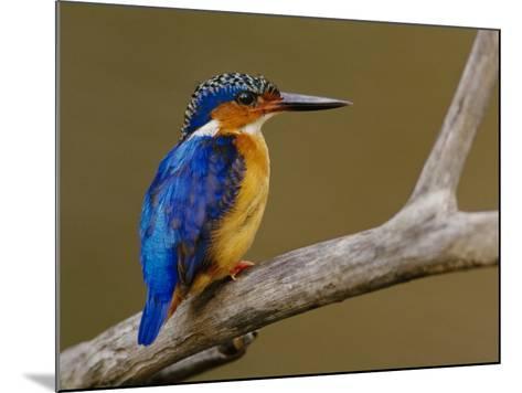 Malachite Kingfisher, Alcedo Cristata, Madagascar-Frans Lanting-Mounted Photographic Print