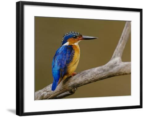 Malachite Kingfisher, Alcedo Cristata, Madagascar-Frans Lanting-Framed Art Print