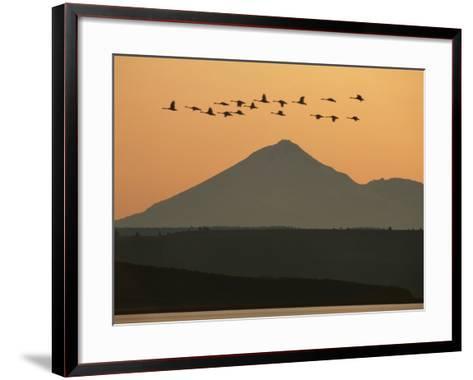 Whistling Swans Flying Near Mt Shasta, Cygnus Columbianus, Klamath Basin Nat'l Wildlife Refuge, CA-Frans Lanting-Framed Art Print