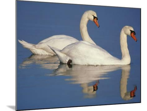Mute Swans, Cygnus Olor, Netherlands-Frans Lanting-Mounted Photographic Print