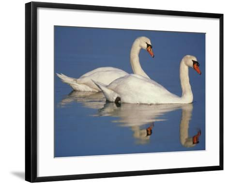 Mute Swans, Cygnus Olor, Netherlands-Frans Lanting-Framed Art Print
