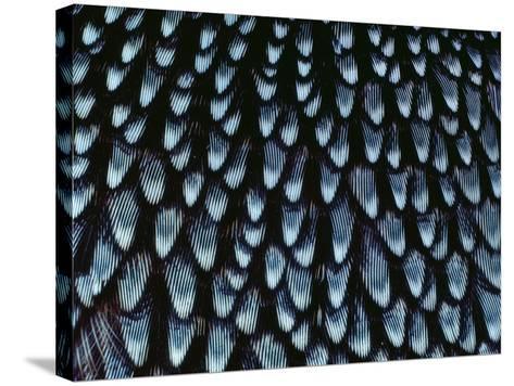 California Quail Breast Feathers, Callipepla Californica, California-Frans Lanting-Stretched Canvas Print