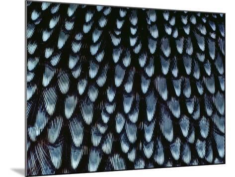 California Quail Breast Feathers, Callipepla Californica, California-Frans Lanting-Mounted Photographic Print