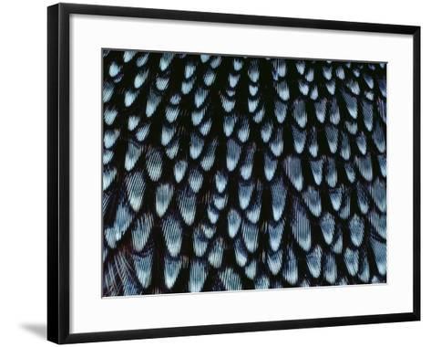 California Quail Breast Feathers, Callipepla Californica, California-Frans Lanting-Framed Art Print