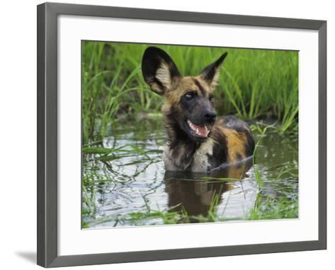 African Wild Dog Cooling Off in Water, Lycaon Pictus, Okavango Delta, Botswana-Frans Lanting-Framed Art Print
