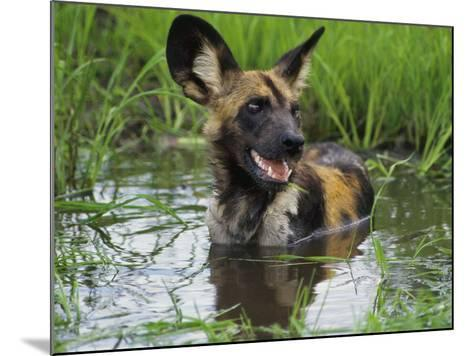 African Wild Dog Cooling Off in Water, Lycaon Pictus, Okavango Delta, Botswana-Frans Lanting-Mounted Photographic Print