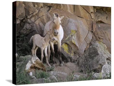 Takhi Mare with Foal, Equus Caballus Przewalskii, Hustain Nuruu National Park, Mongolia-Frans Lanting-Stretched Canvas Print