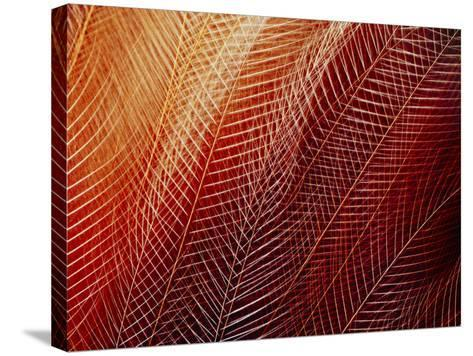Greater Bird of Paradise Plumage, Paradisaea Apoda, Papua New Guinea-Frans Lanting-Stretched Canvas Print