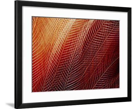 Greater Bird of Paradise Plumage, Paradisaea Apoda, Papua New Guinea-Frans Lanting-Framed Art Print