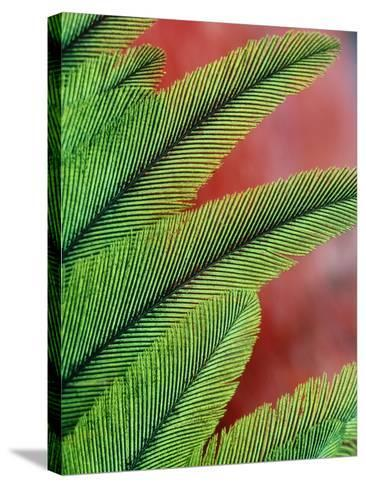 Resplendent Quetzal Feathers, Pharomachrus Mocinno, Costa Rica-Frans Lanting-Stretched Canvas Print