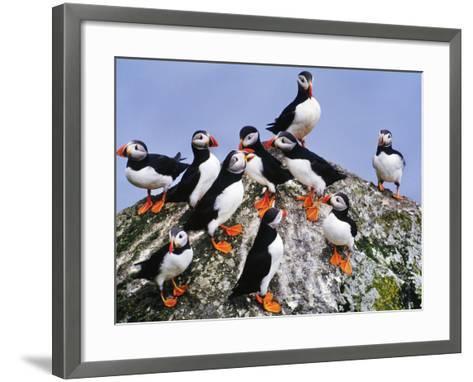 Atlantic Puffin Flock, Fratercula Arctica, Outer Hebrides, Scotland-Frans Lanting-Framed Art Print