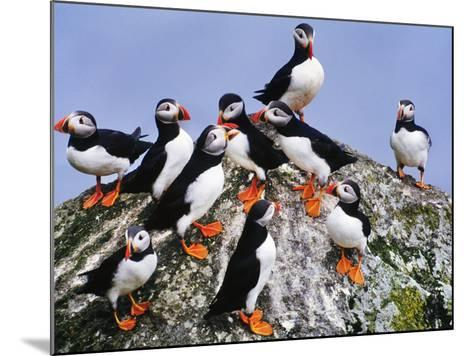 Atlantic Puffin Flock, Fratercula Arctica, Outer Hebrides, Scotland-Frans Lanting-Mounted Photographic Print
