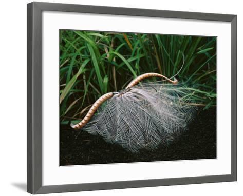 Superb Lyrebird Displaying, Menura Novaehollandiae, Sherbrooke Forest, Southeast Australia-Frans Lanting-Framed Art Print