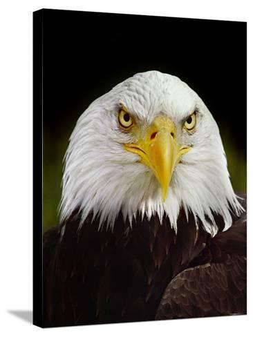 Bald Eagle, Haliaeetus Leucocephalus, California-Frans Lanting-Stretched Canvas Print
