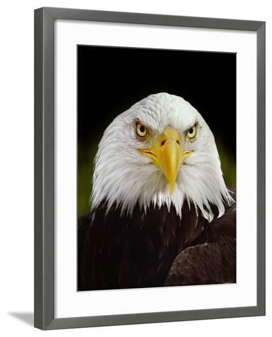 Bald Eagle, Haliaeetus Leucocephalus, California-Frans Lanting-Framed Art Print