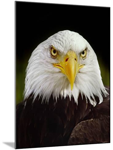 Bald Eagle, Haliaeetus Leucocephalus, California-Frans Lanting-Mounted Photographic Print