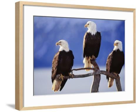 Bald Eagles, Haliaeetus Leucocephalus, Southeast Alaska-Frans Lanting-Framed Art Print