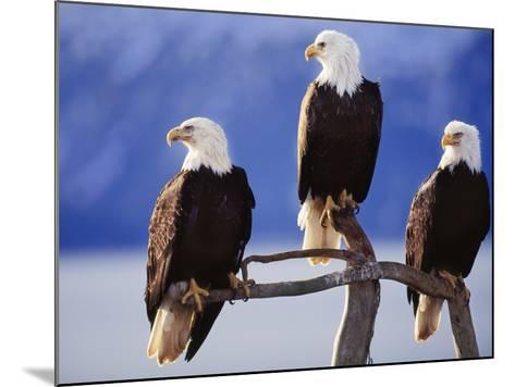 Bald Eagles, Haliaeetus Leucocephalus, Southeast Alaska-Frans Lanting-Mounted Photographic Print