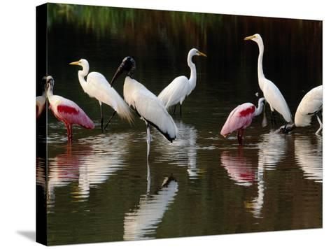 Great Egrets, Ardea Alba, Wood Storks, Mycteria Americana, and Roseate Spoonbill, Pantanal, Brazil-Frans Lanting-Stretched Canvas Print