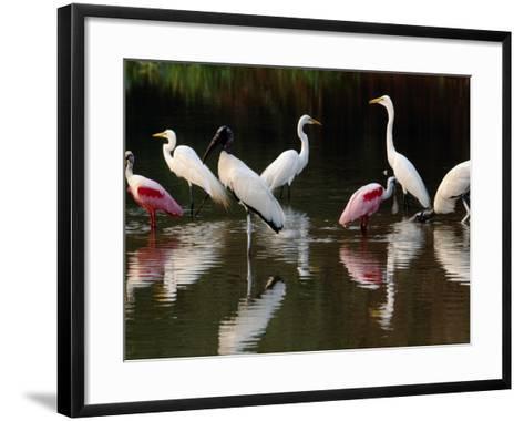 Great Egrets, Ardea Alba, Wood Storks, Mycteria Americana, and Roseate Spoonbill, Pantanal, Brazil-Frans Lanting-Framed Art Print