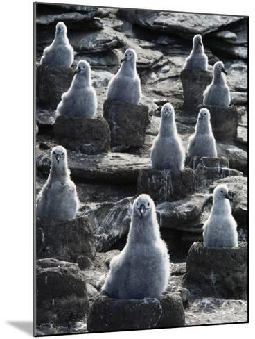 Black-Browed Albatross Chicks, Thalassarche Melanophrys, Falkland Islands-Frans Lanting-Mounted Photographic Print