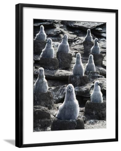 Black-Browed Albatross Chicks, Thalassarche Melanophrys, Falkland Islands-Frans Lanting-Framed Art Print