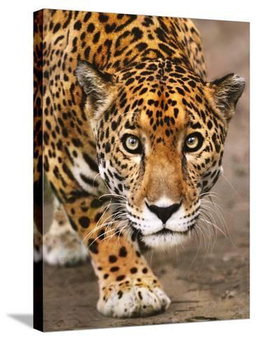 Jaguar Stalking, Panthera Onca, Belize-Frans Lanting-Stretched Canvas Print