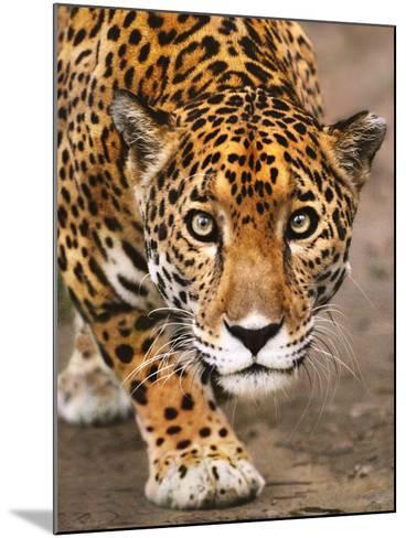 Jaguar Stalking, Panthera Onca, Belize-Frans Lanting-Mounted Photographic Print