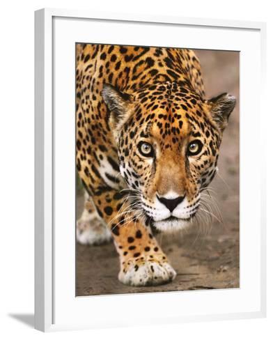 Jaguar Stalking, Panthera Onca, Belize-Frans Lanting-Framed Art Print