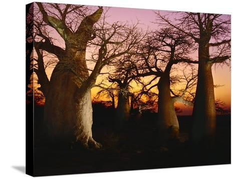 Baobabs at Sunset, Adansonia Digitata, Makgadikgadi Pans, Botswana-Frans Lanting-Stretched Canvas Print