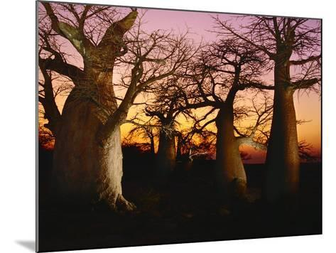 Baobabs at Sunset, Adansonia Digitata, Makgadikgadi Pans, Botswana-Frans Lanting-Mounted Photographic Print