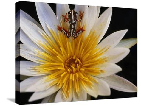 Reed Frog, Hyperolius Sp., in Water Lily, Okavango Delta, Botswana-Frans Lanting-Stretched Canvas Print