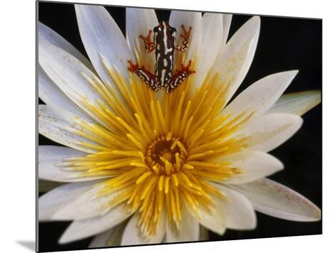 Reed Frog, Hyperolius Sp., in Water Lily, Okavango Delta, Botswana-Frans Lanting-Mounted Photographic Print